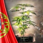 קאנביס בפורטוגל חוקי או לא חוקי